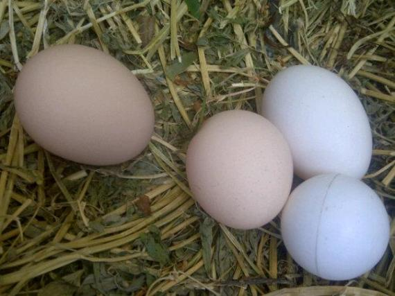 Eggs! The Ping Pong Ball is for Sassy, she lays better when there is a fake egg in her nesting box.