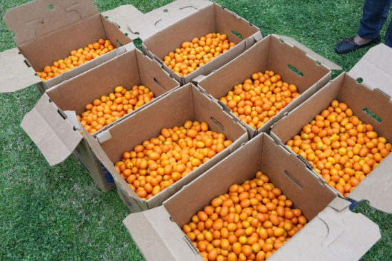250 lbs of beautiful ripe kumquats.