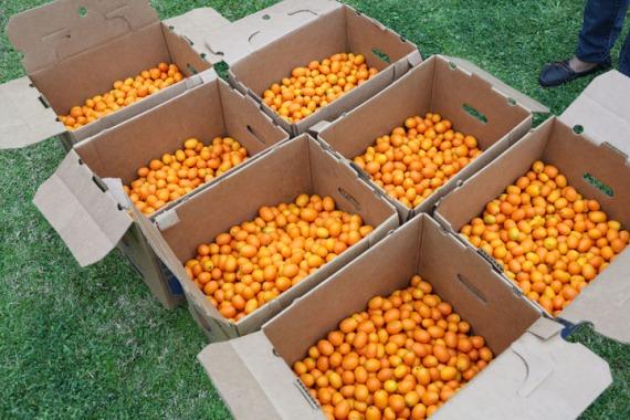 250 lbs of beautiful ripe kumquats.